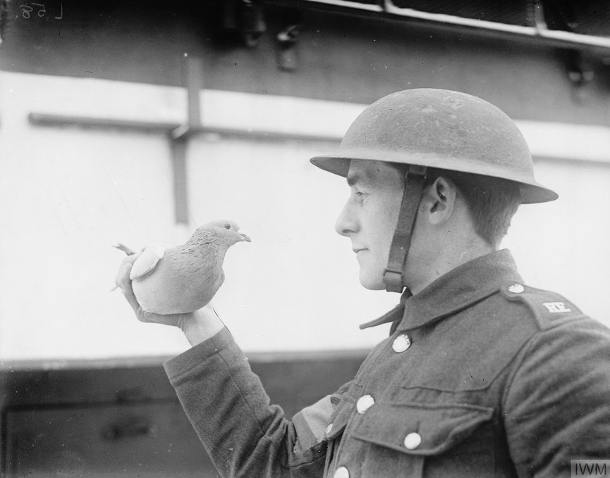 "Carrier pigeon named ""Dreadnought"" used for carrying messages. Dickebusch, 27 December 1917."