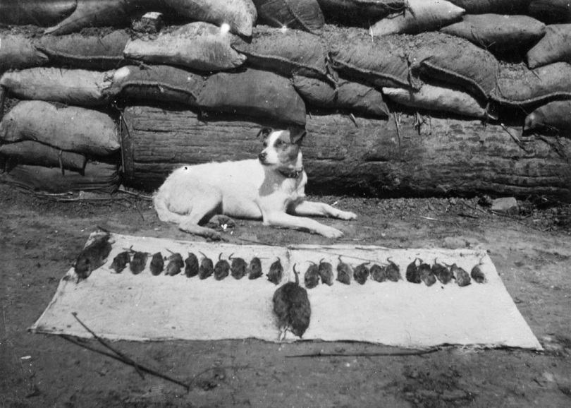 Pet dog of the Middlesex Regiment with its catch of rats in the trenches on the Western Front during the First World War.