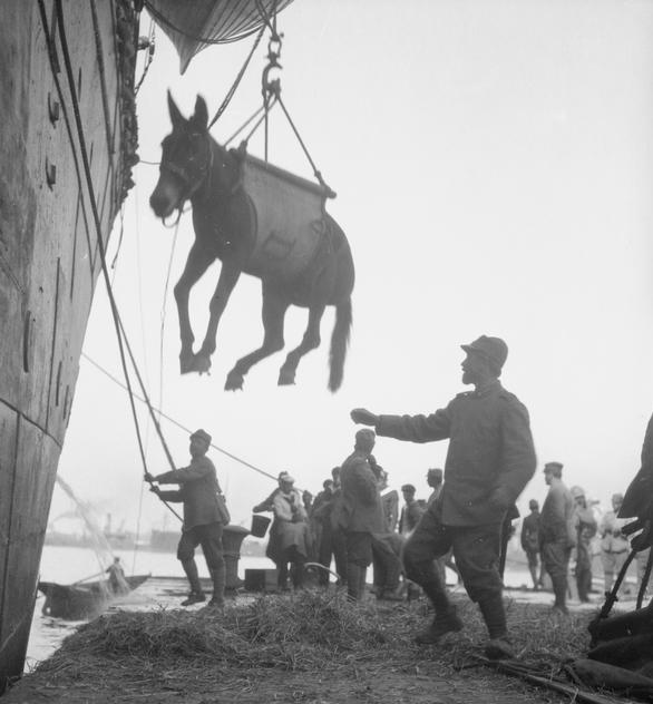 A mule being unloaded from a ship in a harness. Soldiers wait on the ground to secure the animal.